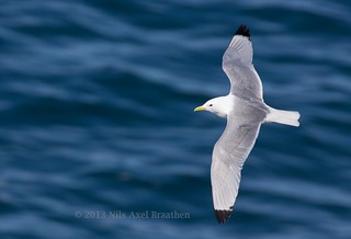 J77A4766 -- A Gull in flight at Hafnaberg, on Iceland