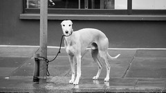 I hate seeing a dog tied up outside the shops waiting anxiously for its master to return, poor things always so upset and edgy when left like that. I saw this cute greyhound waiting, stopped to take a pic from the other side of the road and as I did he looked right at me, clearly thinking instead of...