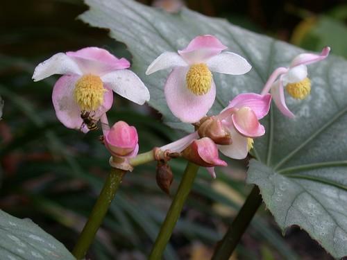 Begonia 'Caribbean Star'