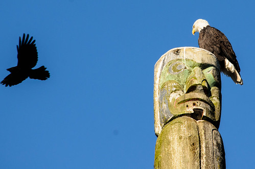 Crow buzzing an eagle in Kits