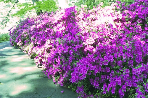Formosa Azaleas in Bloom by bahayla