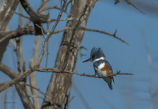 DSC_1235-AG - Belted Kingfisher - Hillsdale Lake - Hillsdale, Kansas