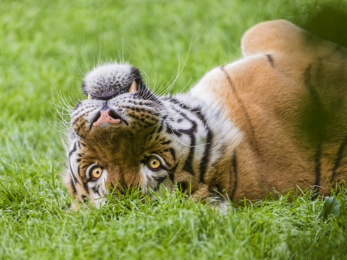 Cute tiger on his back by Tambako the Jaguar