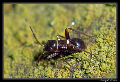 Pilophorus sp. nymph