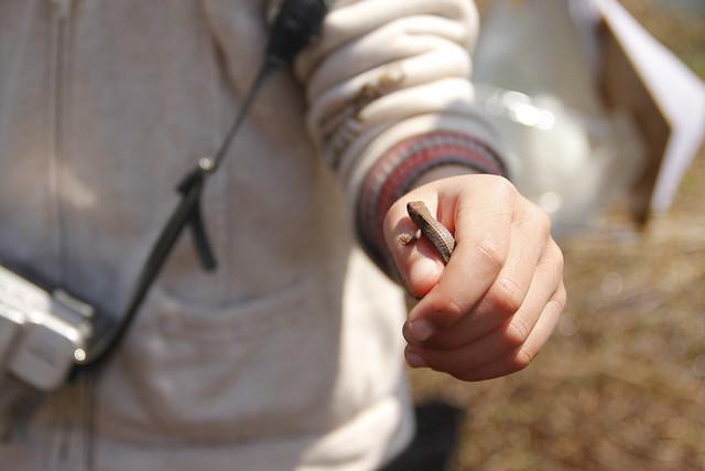 小さなカナヘビ発見.