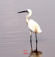 animal, wing, fauna, great egret, heron, beak, bird,