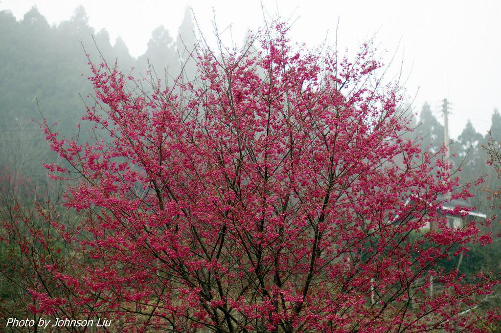 有點霧的山上人家櫻花