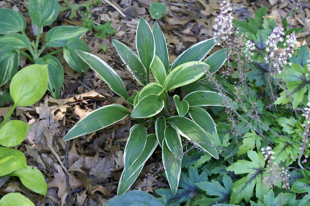 Hosta 'rectifolia Chionea' (12)-001