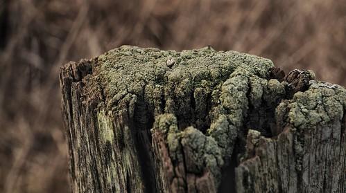 Becherflechte (Cladonia sp.) auf einem alten Holz-Pfosten in Treia an der Treene (58)