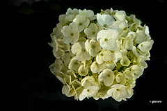 Hortensia.....P1100317EP