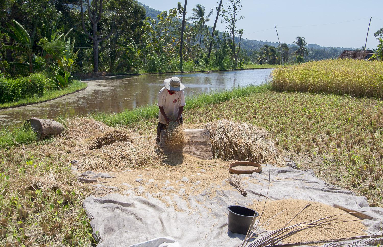 После нескольких сильных взмахов и ударов зерна риса отрываются