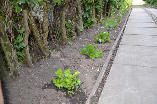herb garden May 14 3