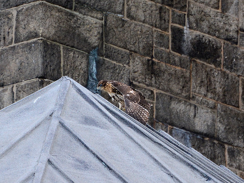 Cathedral Hawk Fledgling #2 (2174)