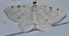 # 6273 – Speranza pustularia – Lesser Maple Spanworm Moth