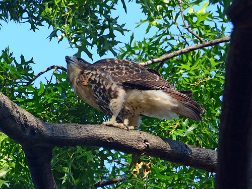 Cathedral Hawk Fledgling - 2965