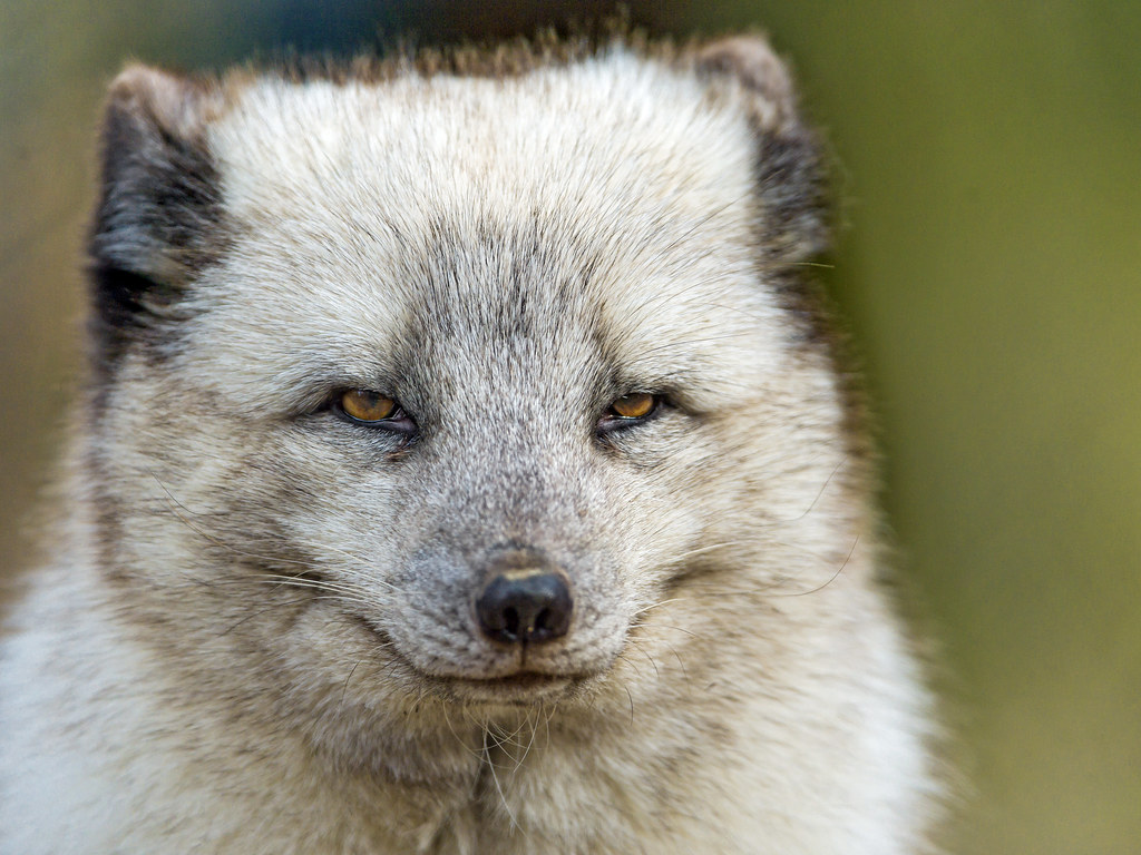 Nice and close portrait of a polar fox