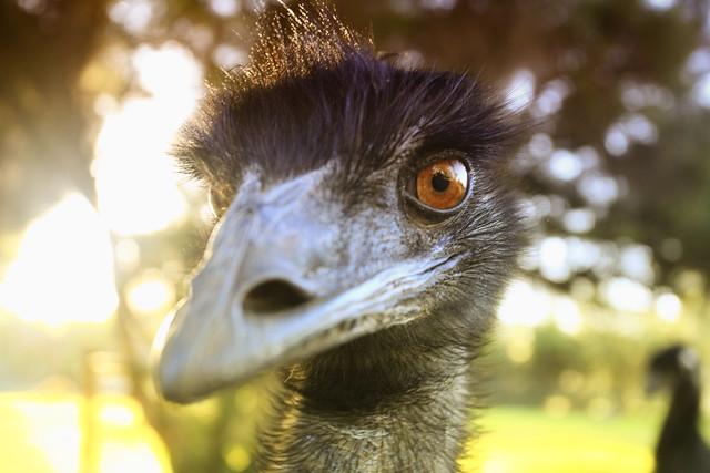 Mr Emu, watching you