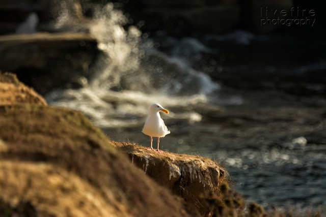 Gull on Cliff