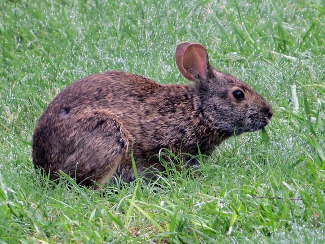 Marsh Rabbit  (Sylvilagus palustris)