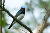 Blue-and-White Flycatcher / Cyanoptila cyanomelana by peter.lindenburg
