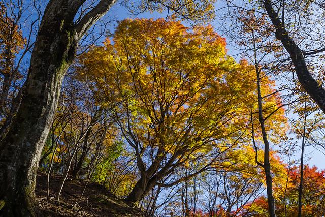 伊豆ヶ岳山頂直下のカエデの大木
