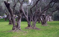 Old olive grove, nearly 150 years old