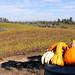MIN 236_Sonoma_pumpkin