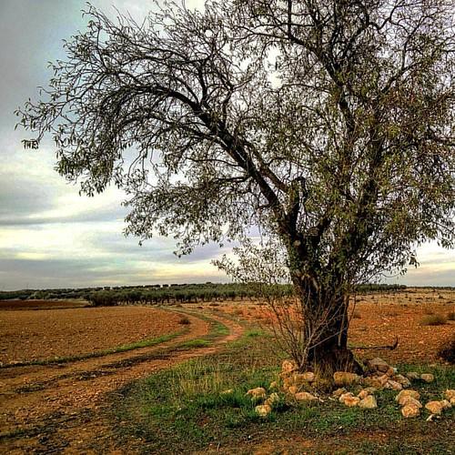 El árbol de Juan el Gordo (II). Alcadozo (Albacete, Spain)