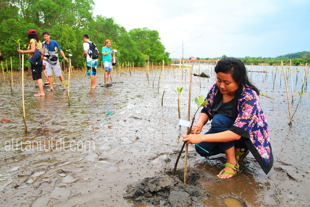 10.Pengunjung menanam langsung bibit bakau di pinggir sungai.