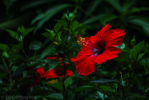 hibiscus shoeflower flower plant red green nature bloom garden flora kerala india jayasankarmadhavadas jayfotographia canoneos1200d canon photography