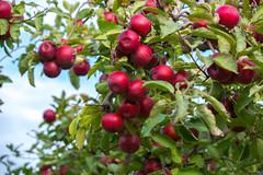 Ampire Apple In The Tree