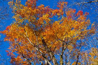 綺麗に色づいた葉が残るカエデの高木