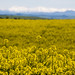 Canola by Ian@NZFlickr