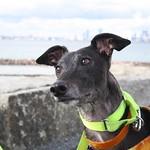 Greyhound Adventures at Deer Island, Winthrop MA, Nov 6th 2016