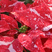 Poinsettia - -- Photo Courtesy Lisa Greene, AAF, AIFD, PFCI
