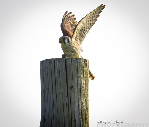 American Kestrel by Ricky L. Jones Photography