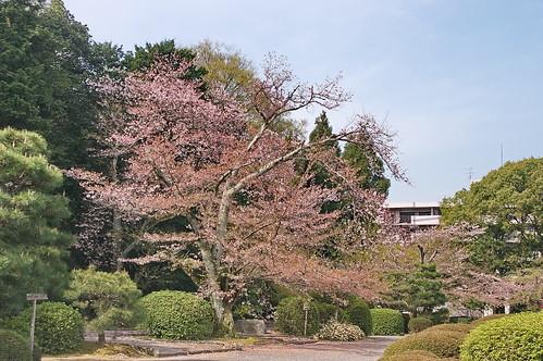 【写真】桜 : 随心院