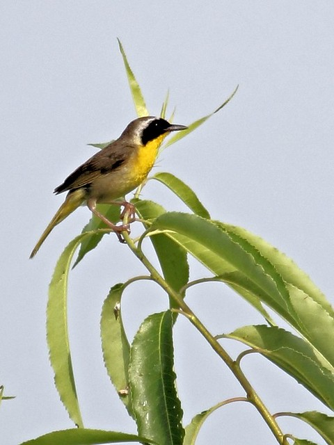 Common Yellowthroat 4-20130707