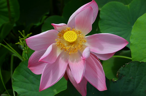 lotus lily by franbanks1 ( Now has rum :) )