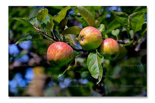 india apple himachalpradesh narkanda kotgarh royalapple indianhimalayas indianfruits