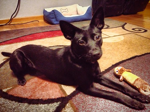 Our new dog, Shasta Clarion McJuddmetz