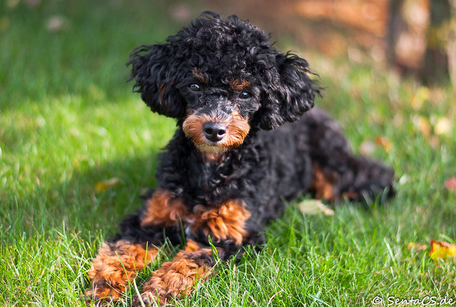 Miniature poodle 6 months young