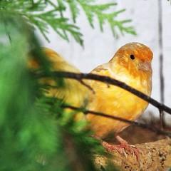 atlantic canary, animal, branch, yellow, fauna, beak, bird, wildlife,