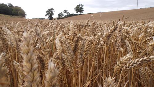 全球暖化導致小麥減產。(來源:oatsy40)