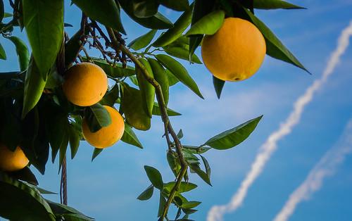 Naranjas 8