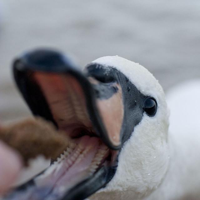 swan-grr