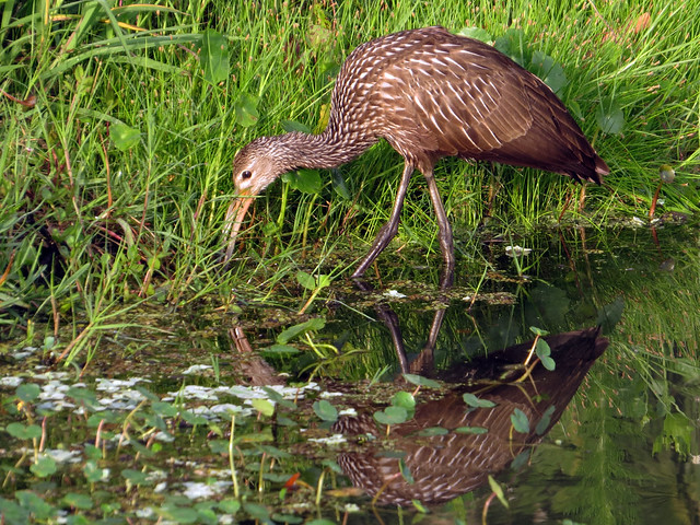 how to get rid of limpkin birds