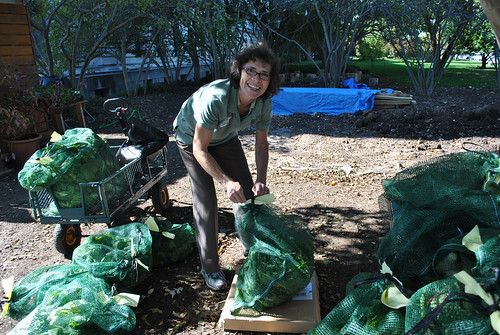 U.S. Department of Agriculture (USDA) Foreign Agricultural Service (FAS) volunteer Maria Nemeth-Ek helps label and sort 175 pounds of fresh produce harvested from USDA headquarters People's Garden on Oct. 18, 2013, including 84 lbs. of bok choy. USDA photo.