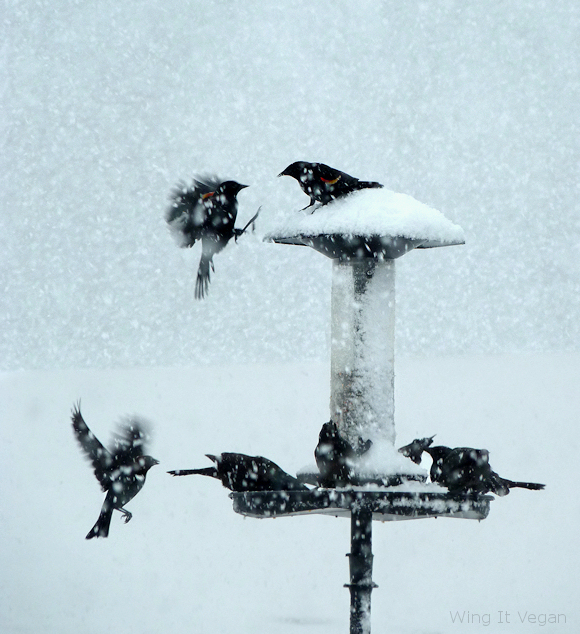 Snowy Red-Winged Blackbirds (Winter 2012)