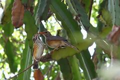 Turdus libonyanus